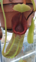 Nepenthes Monkey cups